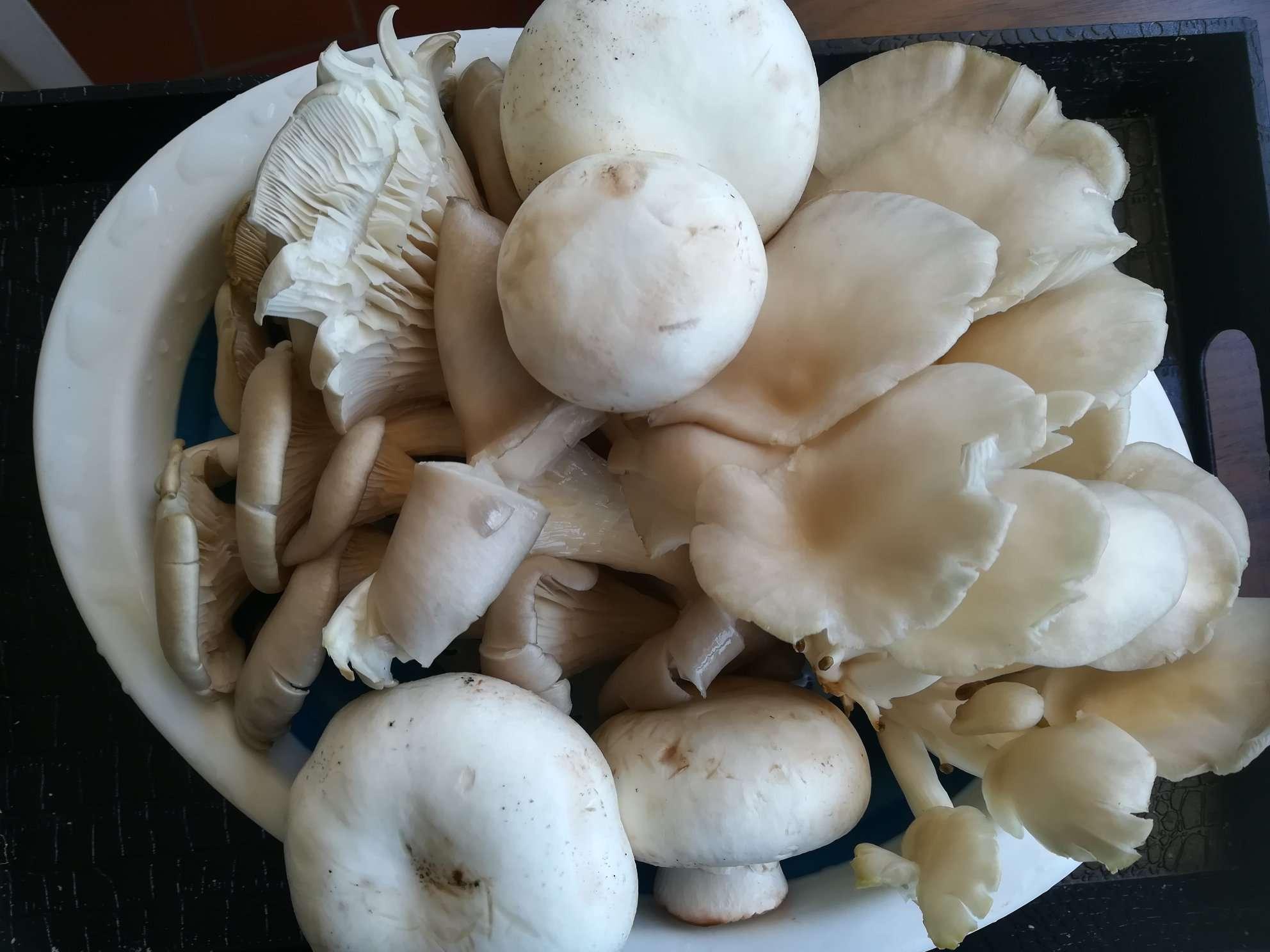 Bukovače , šampinjoni, pečurke, gljive